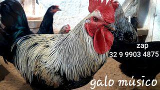 Ovos Galados Férteis da Raça Galinha e Galo Músico Cantor. Pintinhos Frangos Frangas by Douglas Santos